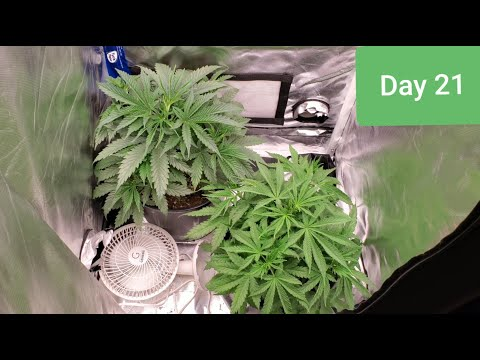 2x2 Grow Tent HALF POUND QUEST !!! FIRE OG/ Do si dos seedlings day 21 / day 26