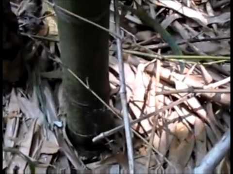 How and When to Cut Bamboo Poles